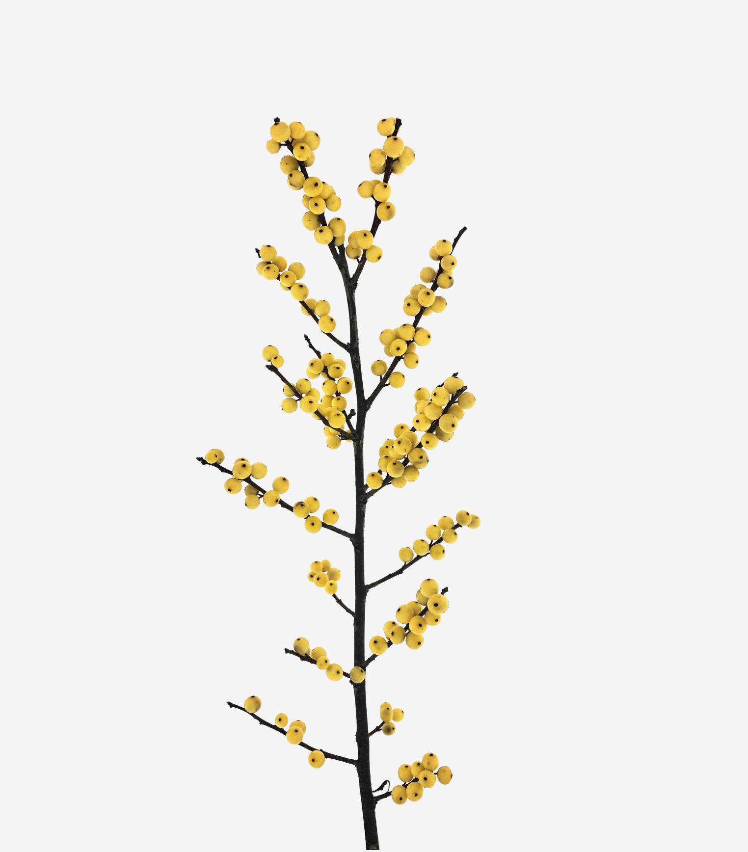 ilex citronella