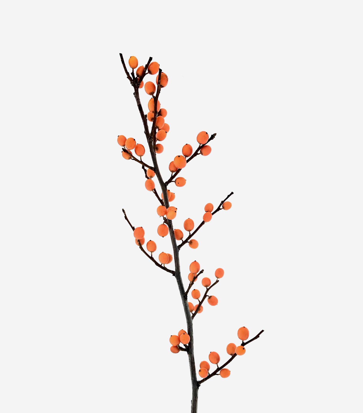 ilex orange beauty