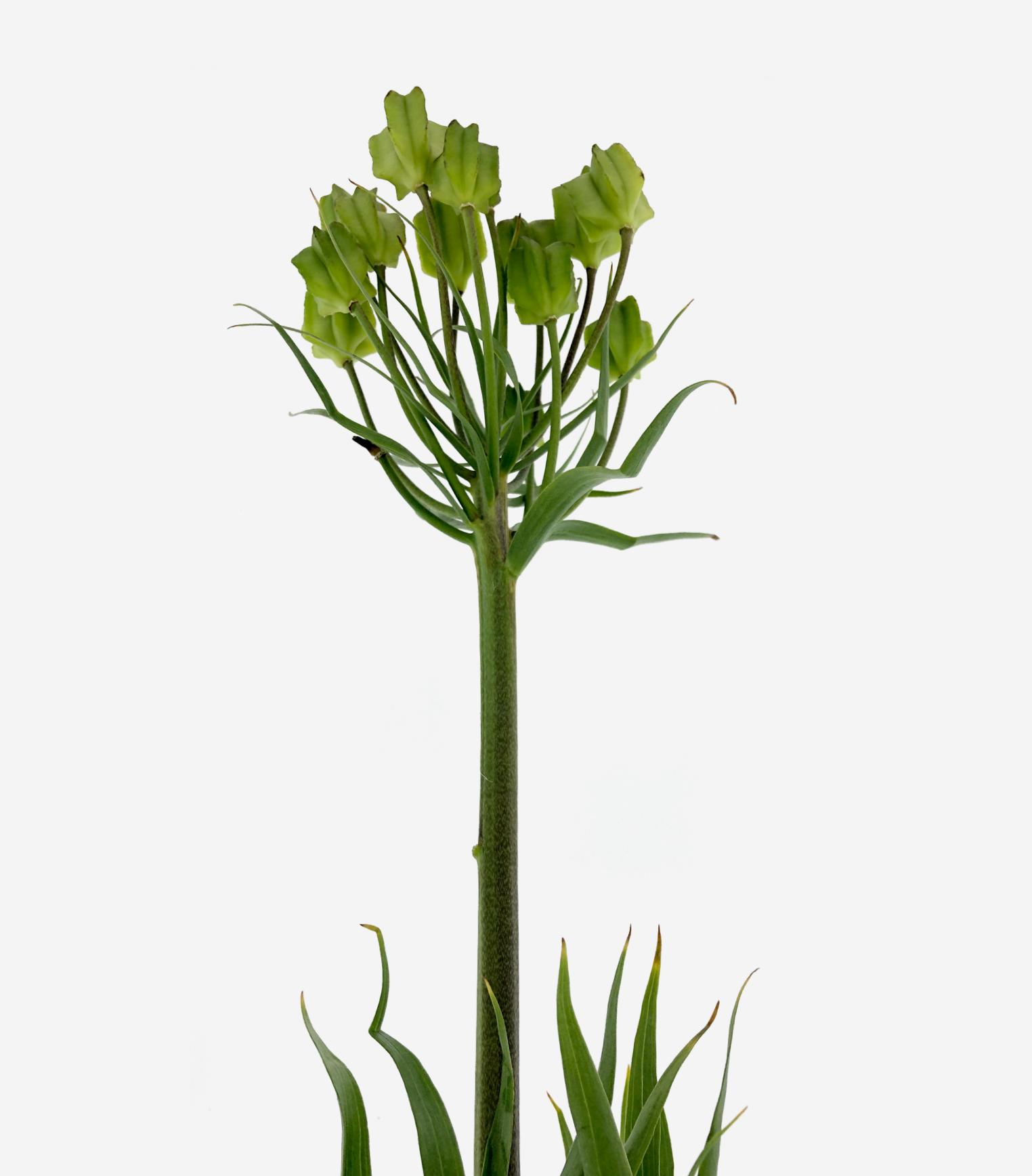 Raddeana Seed Box